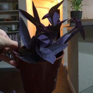 Other - Purple goddess plant